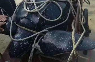 416斤棱皮海龟遭宰售